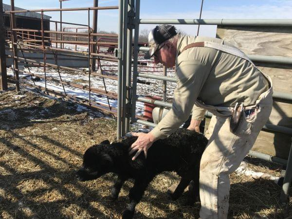 Robert Alpers tends to a calf on his central Missouri farm. His cattle operation is one of the things that has helped his family farm survive the depressed soybean market brought on by the trade war with China.