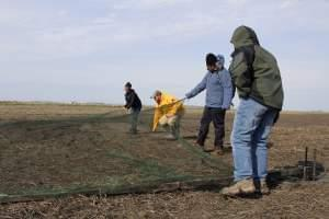 Researchers set a net to catch American golden plovers in eastern Illinois.