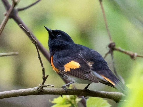 Tight profile of a small bird on a branch, nearly all black with patches of vibrant reddish-orange on its wings.