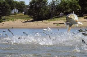 Asian carp jumping from the Illinois River near Havana Illinois.
