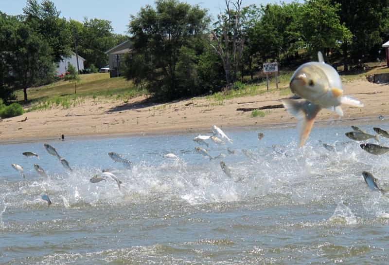 Asian carp jumping from the Illinois River near Havana Illinois.