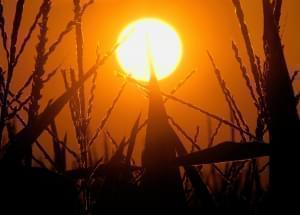 In this July 15, 2012 file photo, the sun rises over corn stalks in Pleasant Plains, Ill., during a drought.