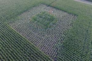 corn field, FACE facility