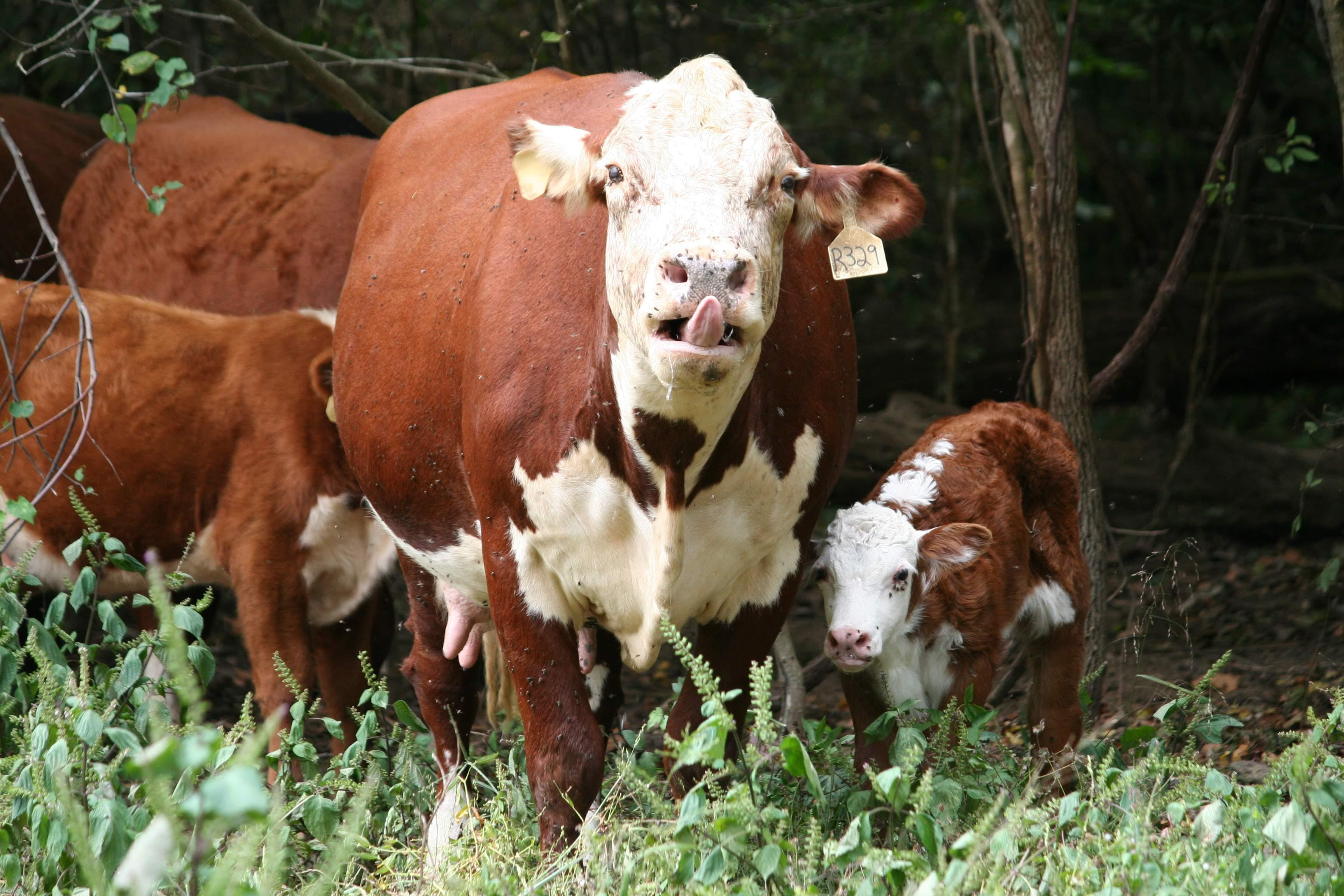 A Hereford cow keeps her baby close in one of the Beshers' pastures in southern Missouri.