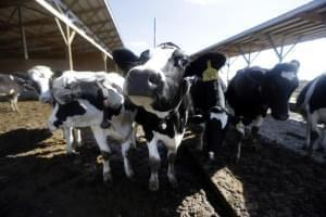 This photo taken Oct. 16, 2013, shows dairy cows on a farm in Okawville, Ill.