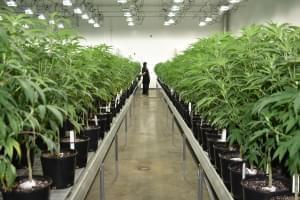 Revolution Global, the largest producer of medical cannabis in Illinois, is one of 14 cultivators approved to grow for adult recreational use. .