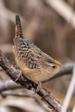 A sedge wren, an oddity on a central-Illinois Christmas Bird Count