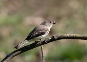 An Eastern Phoebe with bee.