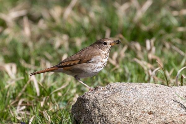 A Hermit Thrush with bee in bill.