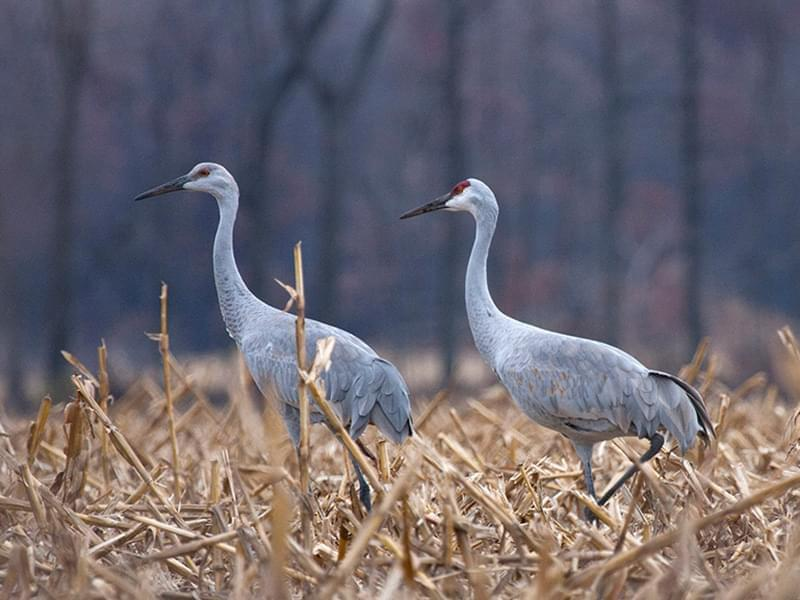 It Was Twilight And Sandhill Cranes >> November Brings Sandhill Crane Spectacle To Northwest Indiana